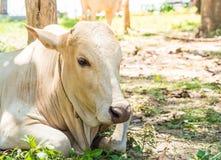 Glückliche einzelne Kuh Lizenzfreie Stockfotos
