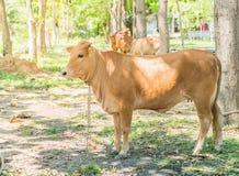 Glückliche einzelne Kuh Lizenzfreie Stockbilder