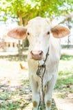 Glückliche einzelne Kuh Stockfoto