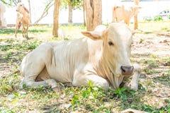 Glückliche einzelne Kuh Stockfotos