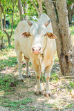Glückliche einzelne Kuh Lizenzfreies Stockbild