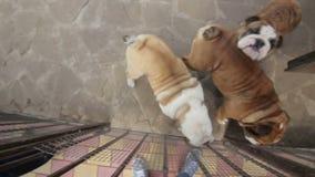 Glückliche englische Bulldogge, die auf Kamera springt stock video footage