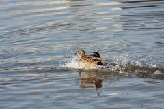 Glückliche Ente Stockfoto