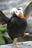 Glückliche Füße - büscheliger Papageientaucher Stockfotos
