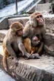 Glückliche Familie von Affen mit unterhaltendem Baby Lizenzfreie Stockfotografie