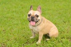 Glückliche französische Bulldogge stockbild