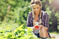 Glückliche Frau, die frische Erdbeeren im Garten sammelt stockfotos