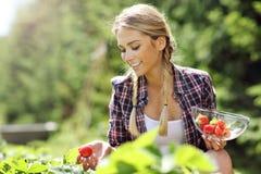 Glückliche Frau, die frische Erdbeeren im Garten sammelt lizenzfreie stockbilder