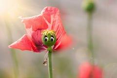 Glückliche Gesichts-Mohnblume Lizenzfreies Stockbild