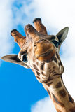 Glückliche Giraffe Lizenzfreies Stockbild