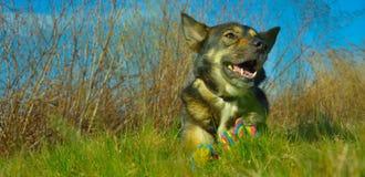 Glückliche halbe Mestize alaskischer Malamute und Sheppard-Hund Lizenzfreies Stockbild