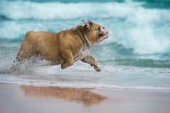 Glückliche Hundbulldogge, die in dem Meer läuft Stockbilder