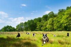 Glückliche Hunde, die auf einem Gebiet romping sind Stockbilder