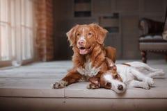 Glückliche Hunde Jack Russell Terrier und Nova Scotia Duck Tolling Retriever, die auf dem Bretterboden liegen Stockbild