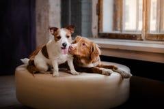 Glückliche Hunde Jack Russell Terrier und Nova Scotia Duck Tolling Retriever, die auf einem ledernen Puff an einem hölzernen Fens Lizenzfreie Stockfotografie