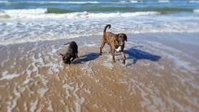 Glückliche Hunde von Dänemark Stockfoto