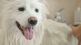 Glückliche Hundewäschen im Badezimmer stock video