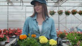 Glückliche industrielle Gewächshaus-Arbeitskraft Carry Boxes Full von Blumen Lächeln und glückliche Frau mit Blumen sie wachsend stock video