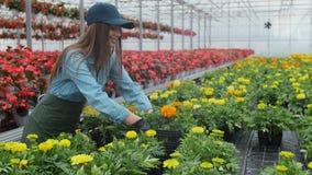 Glückliche industrielle Gewächshaus-Arbeitskraft Carry Boxes Full von Blumen Lächeln und glückliche Frau mit Blumen sie wachsend stock video footage