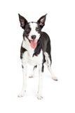 Glückliche junge Collie Mixed Breed Dog Standing Stockfotos