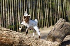 Glückliche junge Ziege stockbild