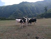 Glückliche Kühe lizenzfreie stockfotografie
