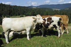 Glückliche Kühe Lizenzfreies Stockbild