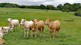 Glückliche Kühe Stockfoto