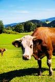 Glückliche Kühe auf alpiner Wiese Lizenzfreies Stockfoto