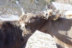 Glückliche Kühe draußen Lizenzfreie Stockfotos