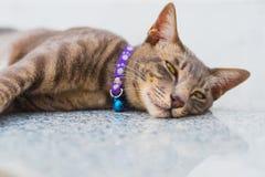 Glückliche Katze der getigerten Katze mit einem Kragen lizenzfreie stockfotografie