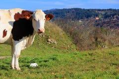 Glückliche Kuh Lizenzfreies Stockfoto