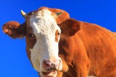 Glückliche Kuh Stockbilder