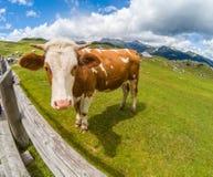 Glückliche Kuh in den Bergen Lizenzfreie Stockfotografie