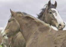 Glückliche Pferde von Sonoma, Kalifornien Stockbilder