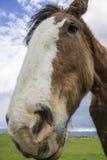 Glückliche Pferde von Sonoma, Kalifornien Stockfoto