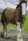 Glückliche Pferde von Sonoma, Kalifornien Lizenzfreie Stockfotos