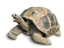Glückliche riesige Schildkröte auf Weiß Stockfotografie
