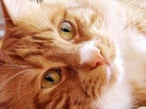 Glückliche rote Katze mit grünen Augen Lizenzfreies Stockfoto