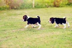 Glückliche Spürhunde Lizenzfreies Stockfoto
