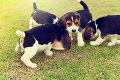 Glückliche Spürhunde Stockfotografie