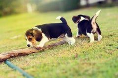 Glückliche Spürhunde Stockbilder
