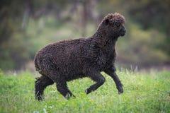 Glückliche tänzelnde schwarze Schafe Lizenzfreie Stockfotografie
