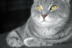 Glückliche Tabbykatze mit goldenen Augen Lizenzfreies Stockfoto