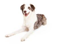 Glückliche und freundliche Grenze Collie Dog Laying Stockbilder