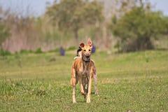 Glückliche Windhunde auf einem Feld in Argentinien Stockfotografie