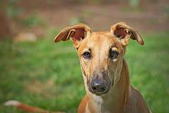 Glückliche Windhunde auf einem Feld in Argentinien Stockfotos