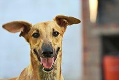 Glückliche Windhunde auf einem Feld in Argentinien Lizenzfreie Stockfotografie