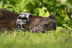 Glückliche Windhunde auf einem Feld in Argentinien Lizenzfreie Stockbilder
