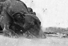 Glückliche Windhunde auf einem Feld in Argentinien Lizenzfreie Stockfotos